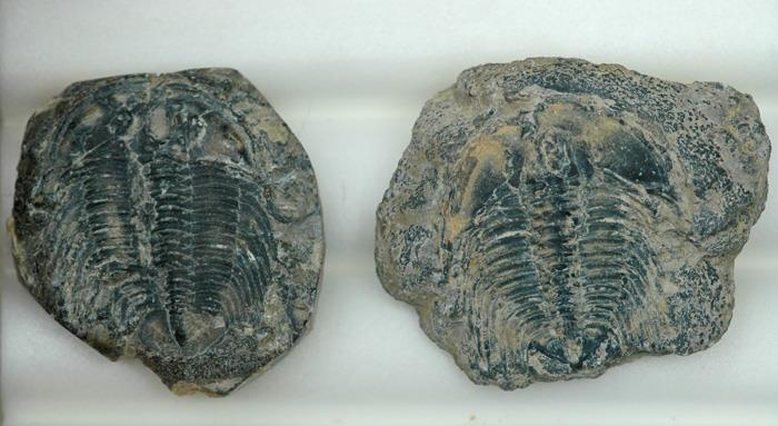 Image for Wanneria Trilobite Natural Fossil Pair 107.10 tcw